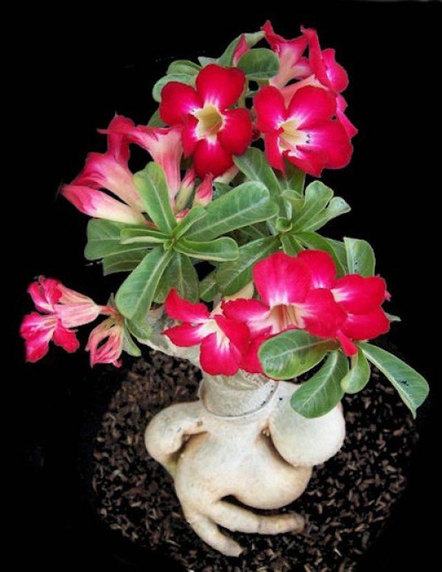 Почему не цветет чубушник, плохой рост