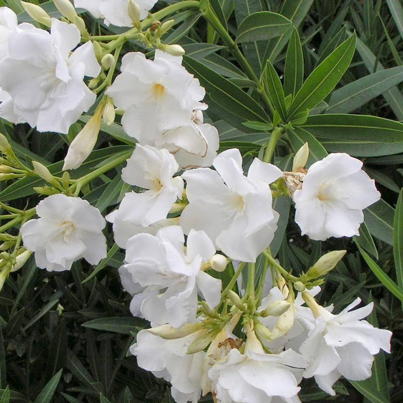Олеандр цветок — уход в домашних условиях