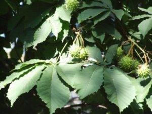 Как посадить каштан и вырастить красивое дерево?
