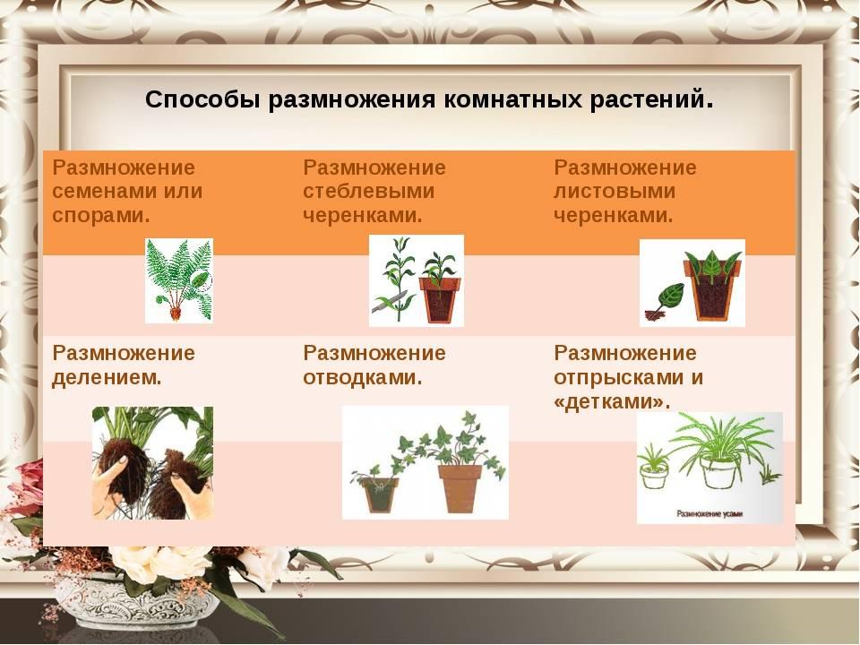 Правила ухода за цветком белопероне вариегатное: размножение в домашних условиях