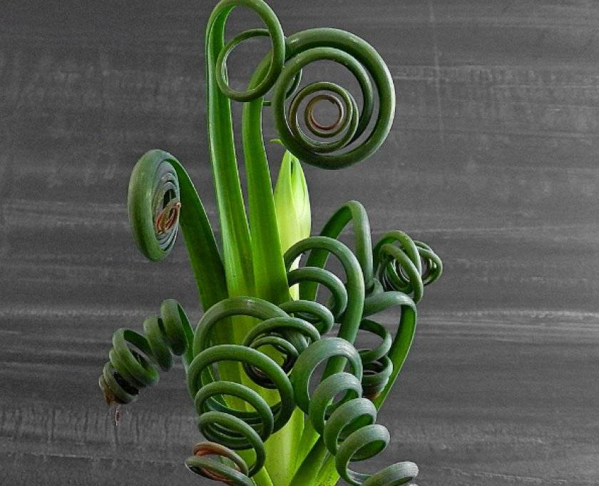 Альбука спиральная: уход и размножение семенами