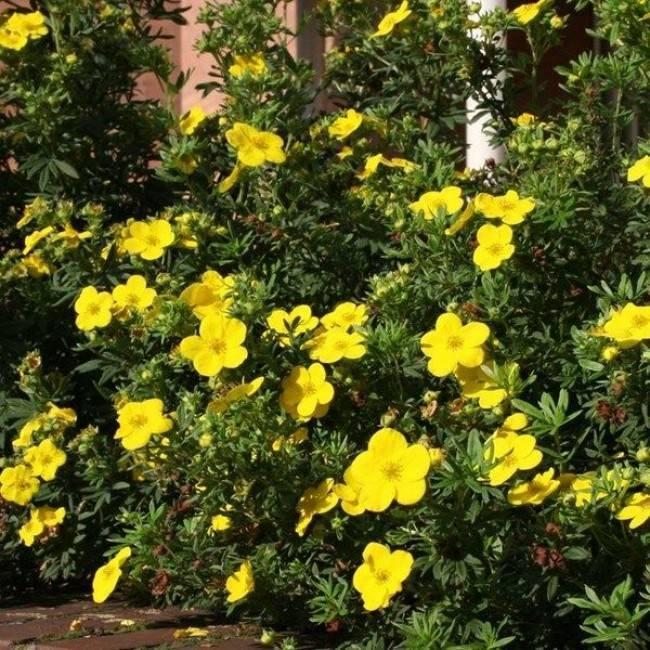 Лапчатка кустарниковая – новый источник вдохновения для садоводов