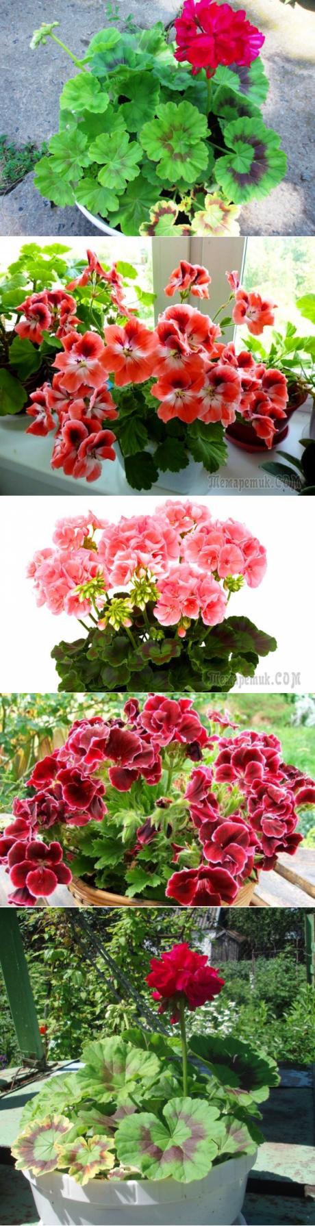 Что делать, если не цветет герань в домашних условиях?