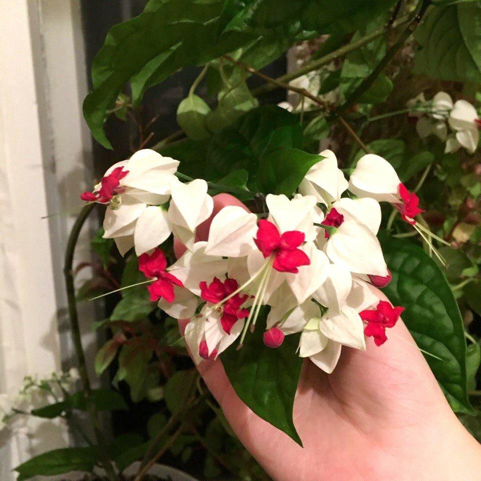 Цветок клеродендрум – уход в домашних условиях