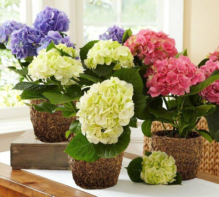 Что необходимо комнатной гортензии для активного роста и цветения?