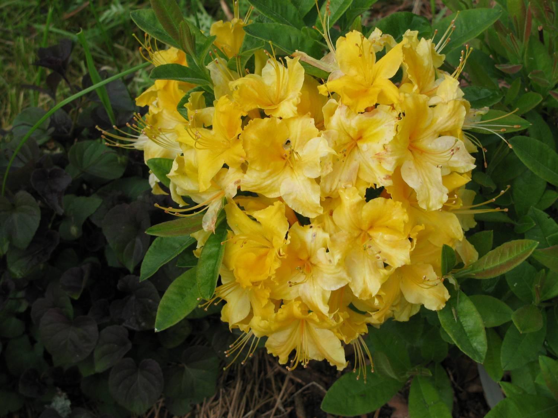 Рододендрон якушиманский перси вайсман