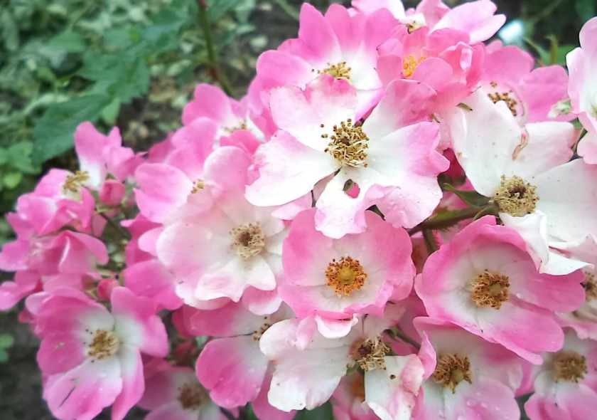 Роза балерина: описание, уход, болезни и вредители