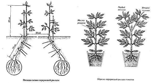 Агапантус — посадка и уход в открытом грунте. агапантус: выращивание, уход и размножение