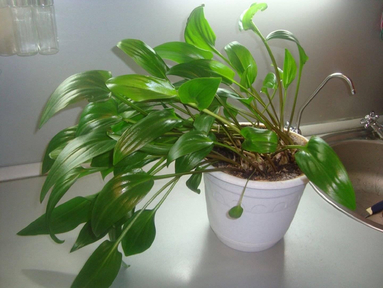 Ледебурия или дримиопсис: уход в домашних условиях за эффектным растением с яркой красочной зеленью