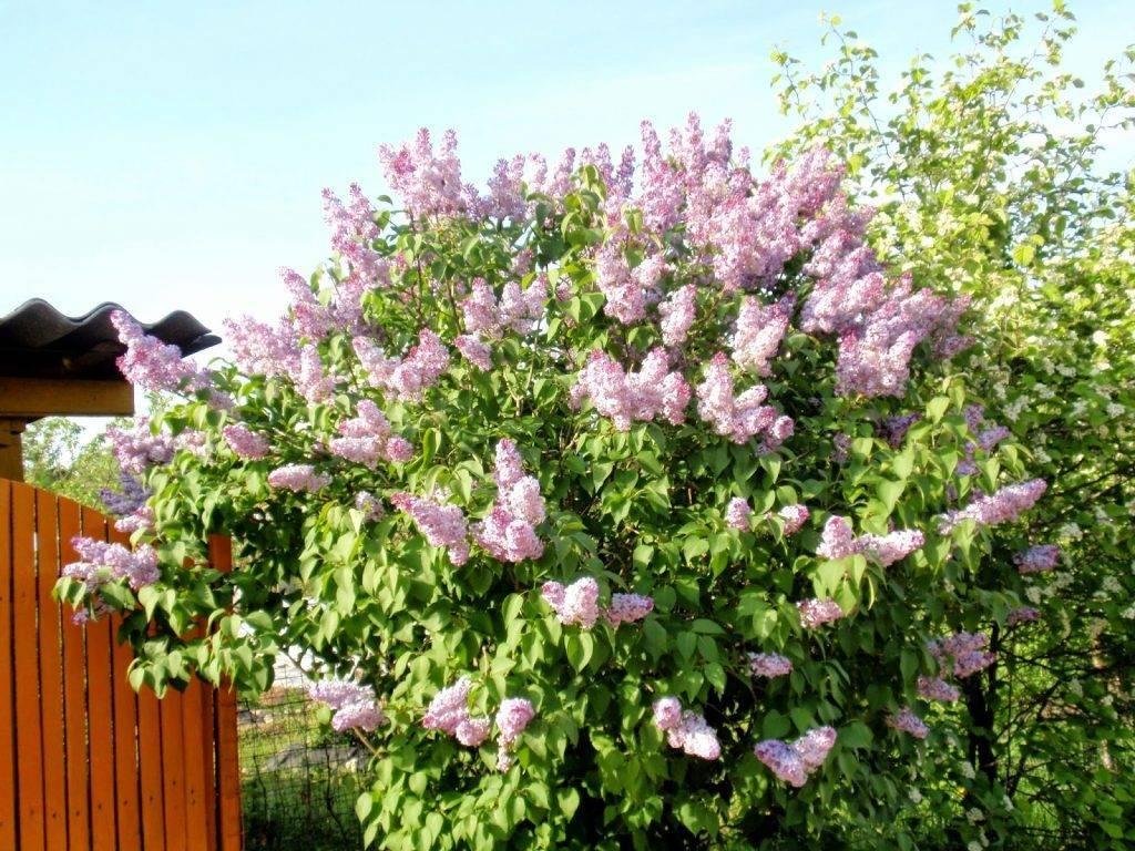 Сирень это кустарник или дерево? Как вырастить сирень в домашних условиях