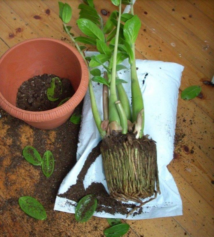 Причина плохого роста замиокулькаса: что делать, чем подкормить долларовое дерево