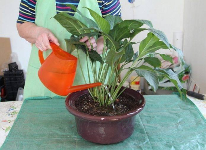 Пересадка спатифиллума: как правильно и пошагово переместить цветок женское счастье из одного горшка в другой в домашних условиях, а также уход за растением и фото