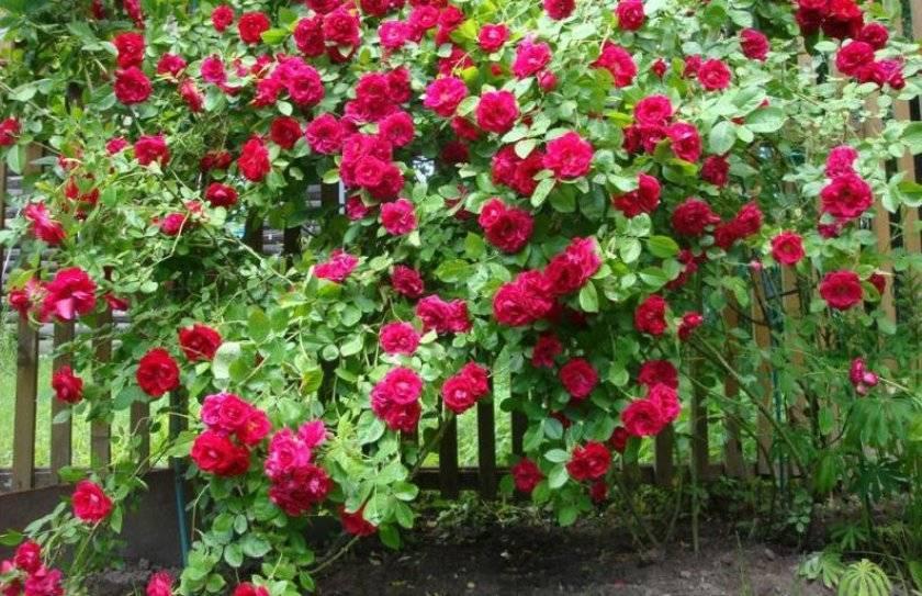 Плетистая роза «симпатия» (29 фото): описание сорта, особенности посадки, выращивания и ухода, отзывы