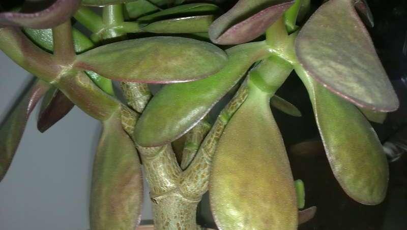 Денежное дерево: спасение, почему у растения мягкие и вялые листья, и что делать