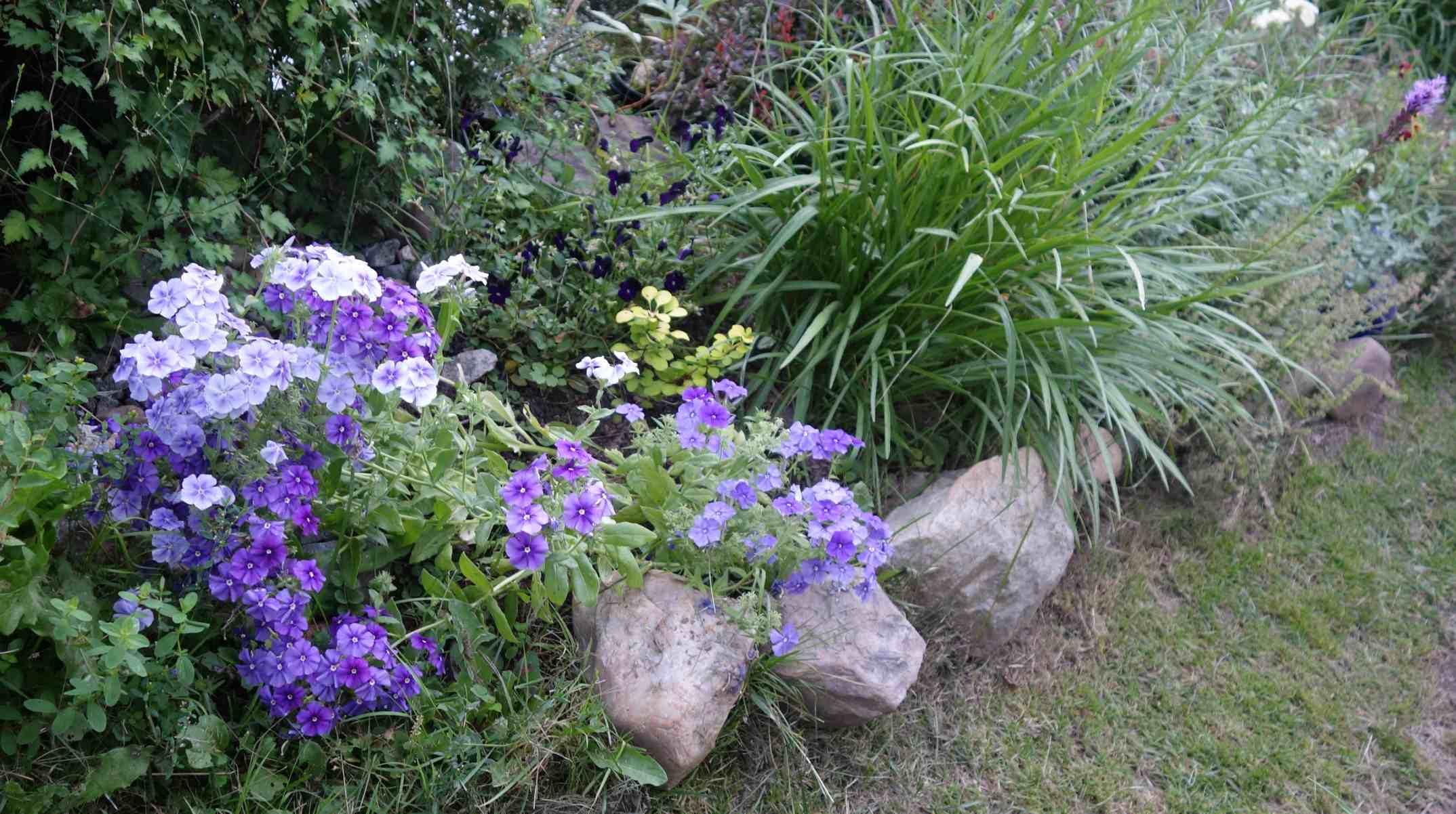 Шиловидный флокс – выращивание и уход