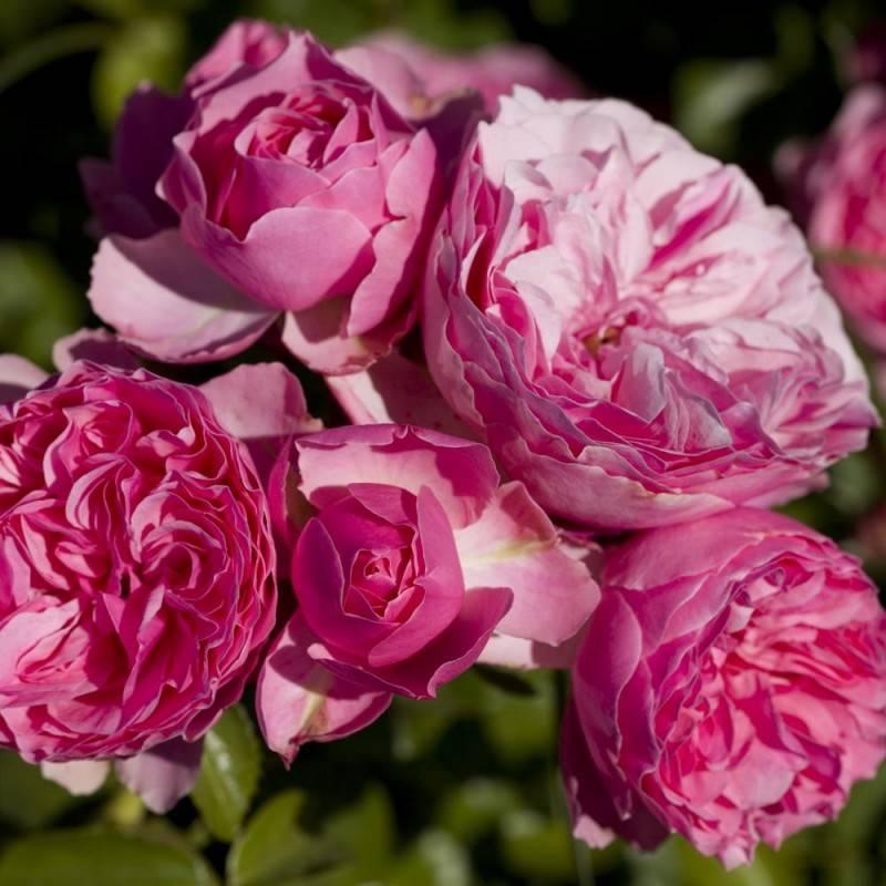 Выращивание розы флорибунда, посадка и уход