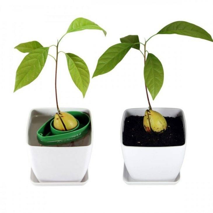 Как вырастить авокадо из косточки в домашних условиях: пошаговая инструкция с фото и видео