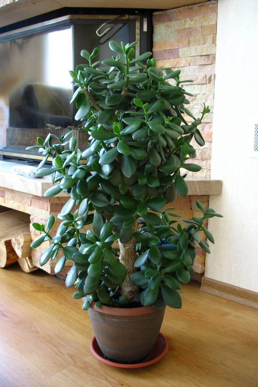 Можно ли отдавать денежное дерево из дома
