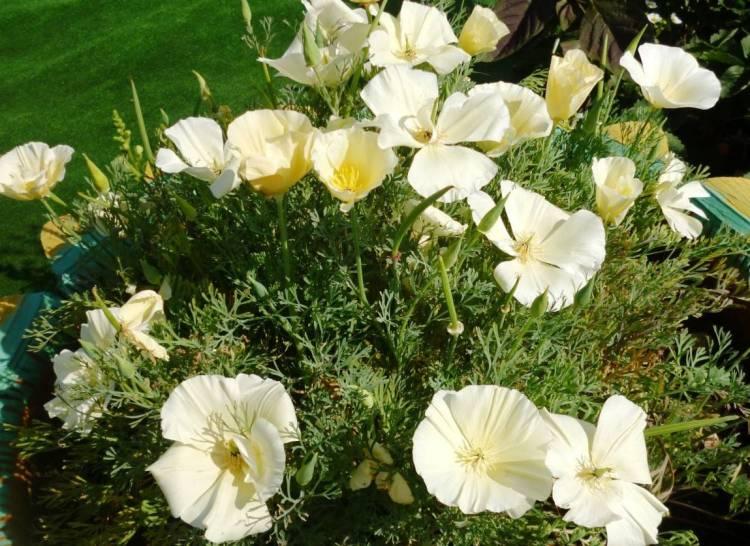 Эшшольция: выращивание из семян - инструкция по выращиванию!