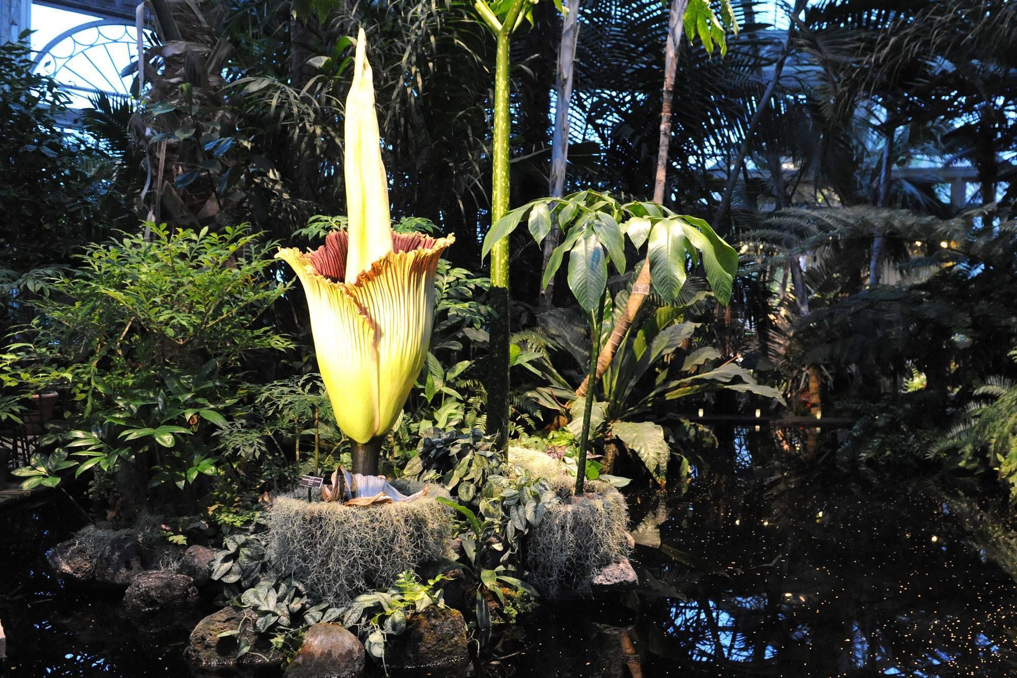 Выращивание цветка аморфофаллус комнатного: как посадить, ухаживать, удобрять, цветение