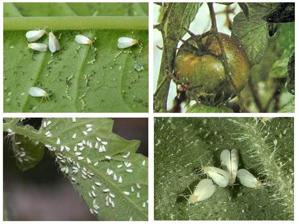Способы борьбы с вредителем трипс на комнатных растениях