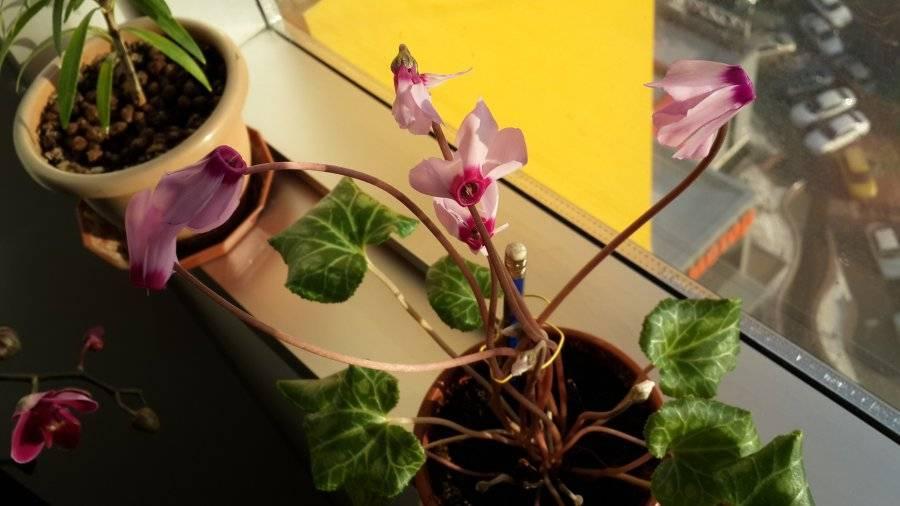 Цикламен — уход в домашних условиях. сорта для разведения в квартире. требования к поливу, освещению, подкормкам, температуре