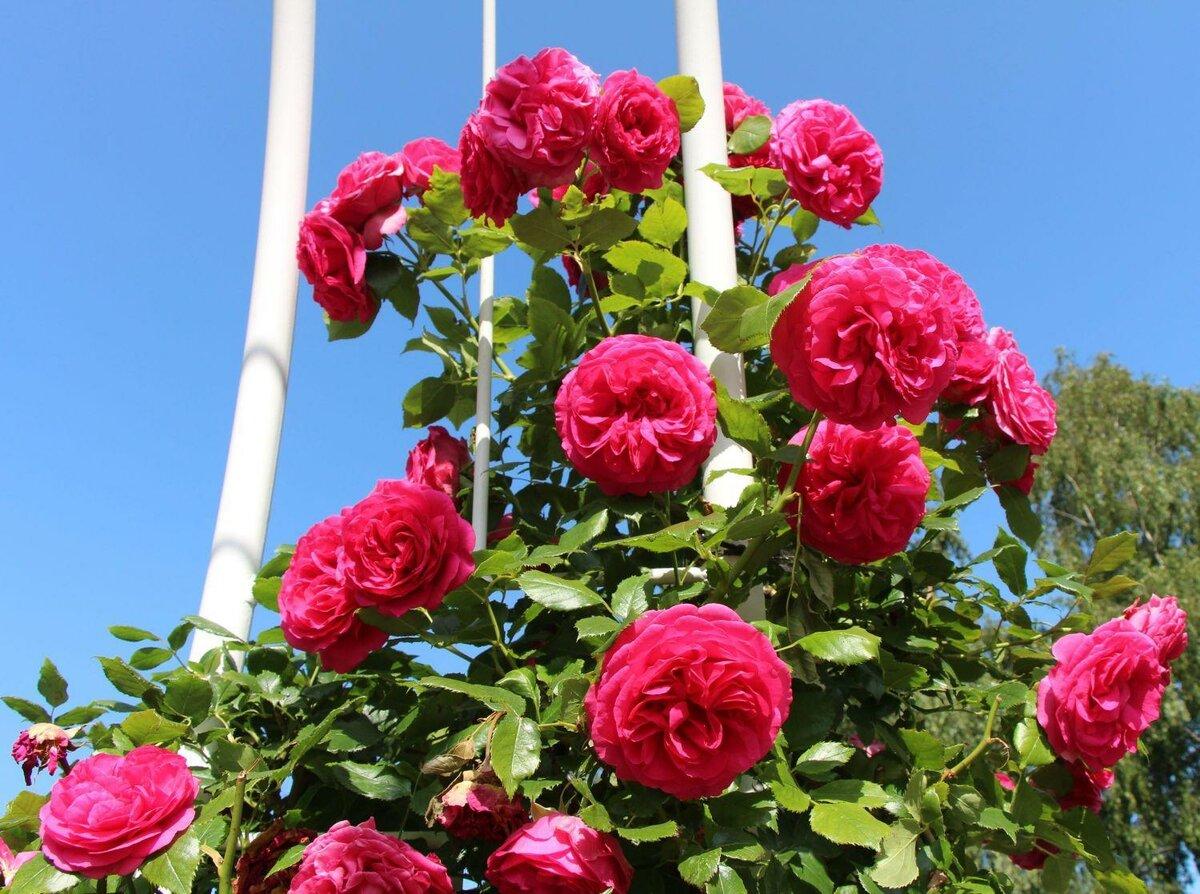 Выращивание плетистых роз – от посадки до обрезки