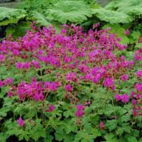 Садовые и комнатные герани: виды и классификация