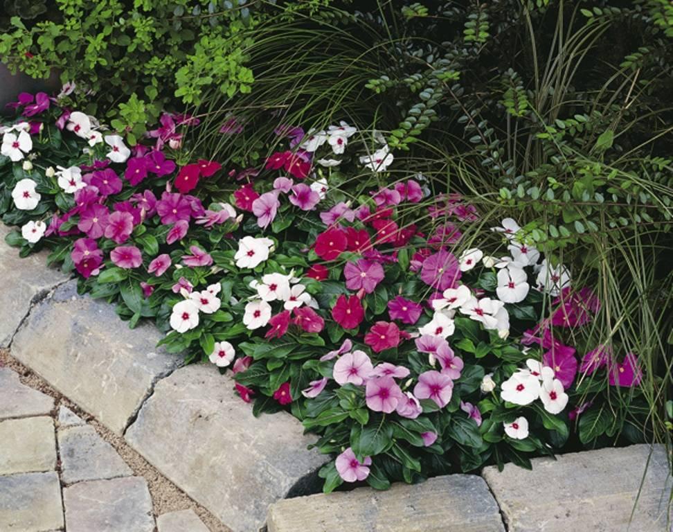Бальзамин садовый — посадка и уход в открытом грунте