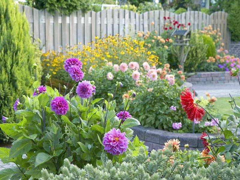Астры: виды и сорта многолетних цветов