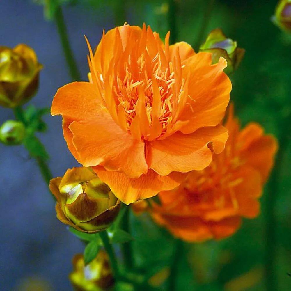 Цветок «купальница»: фото и описание, виды растения