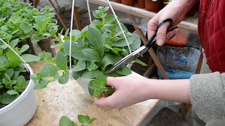 Как правильно посадить ампельную петунию