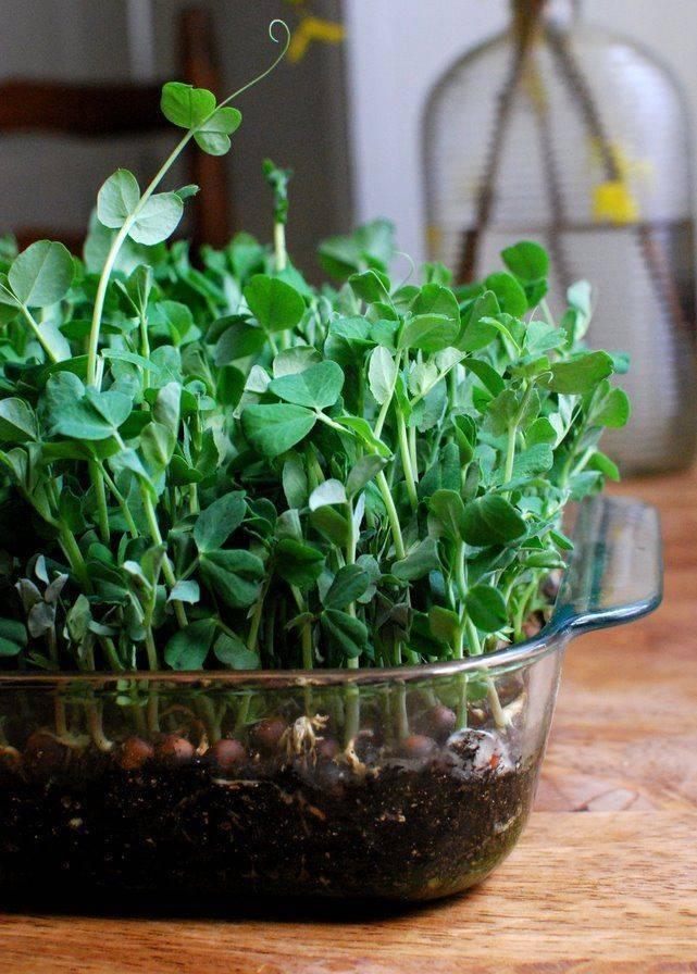 Глориоза цветок: уход в домашних условиях и примеры посадки