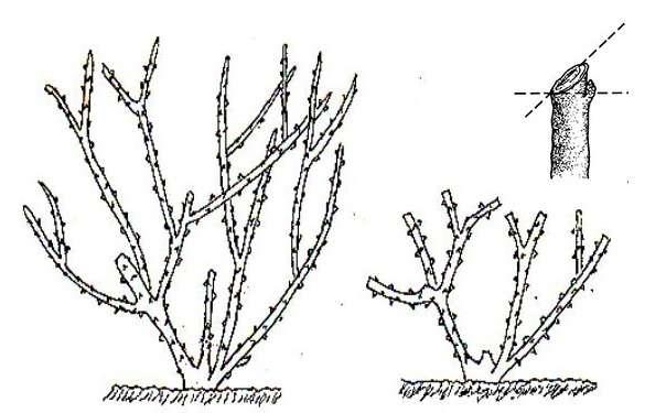 Обрезка крыжовника весной, летом и осенью