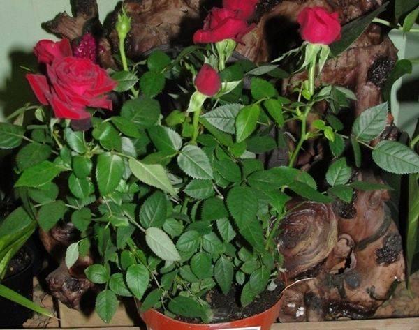 Роза Патио — что это такая за разновидность