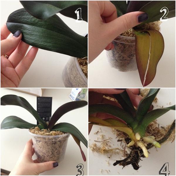 Как ухаживать за орхидеей дома после покупки