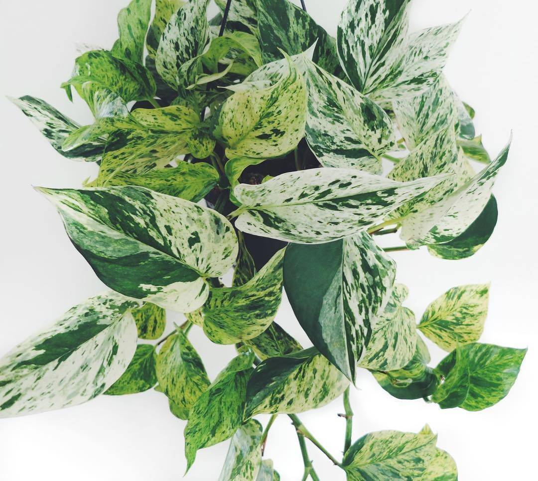 Растение эпипремнум — уход в домашних условиях