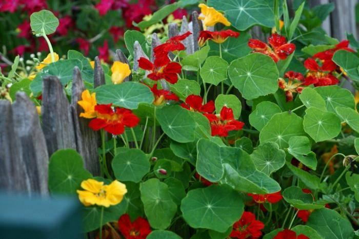 Выращивание тунбергии из семян в домашних условиях: украсьте балкон или сад