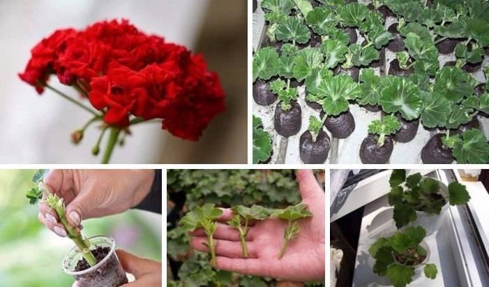 Пошаговое руководство по размножению королевской пеларгонии в домашних условиях. советы по уходу за цветком