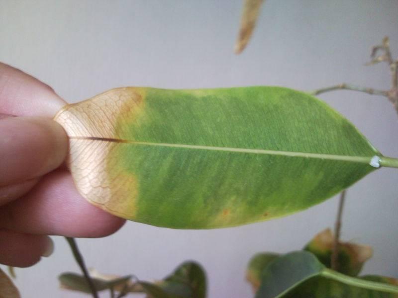 Почему могут желтеть и опадать листья у фикуса бенджамина: болезни, вредители