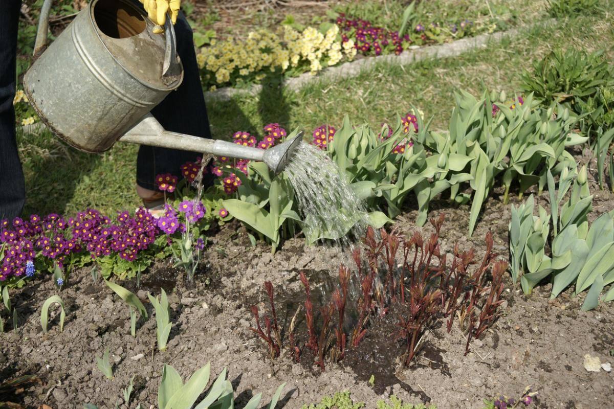 Мускари (57 фото): посадка и уход за цветами в открытом грунте. описание травянистого растения мышиный гиацинт или гадючий лук. когда нужно выкапывать и пересаживать?