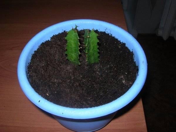 Выращивание молочая трехгранного: как посадить, ухаживать, удобрять, размножать