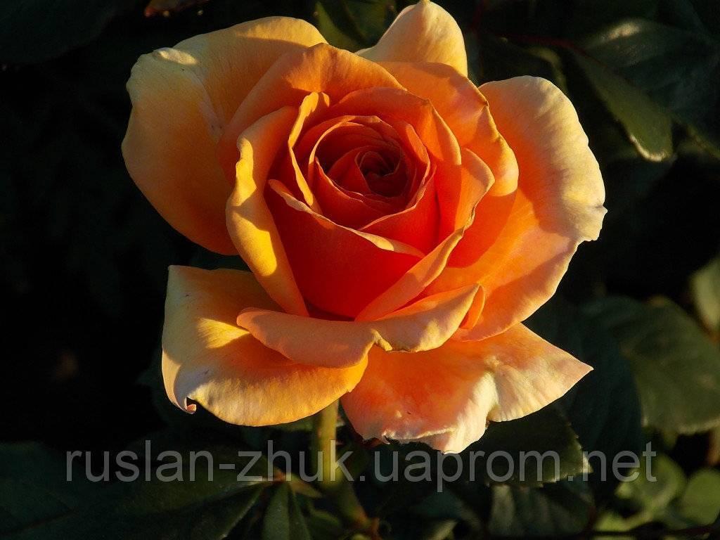 Характеристика и описание сортов чайно-гибридных роз