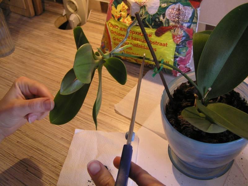 Как размножить орхидею в домашних условиях через цветонос: каким образом выбрать стрелку, как обрезать и посадить в емкость с водой, когда перемещать в горшок?