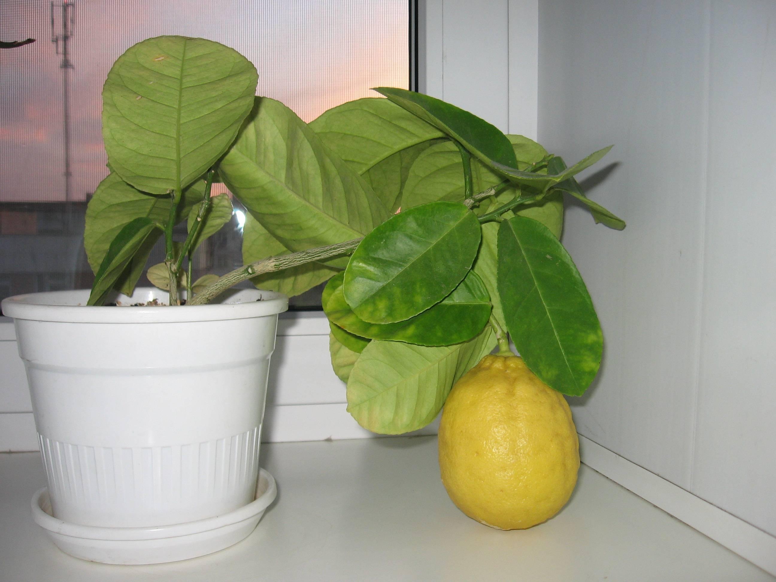 Лимонник китайский — как правильно посадить - pocvetam.ru