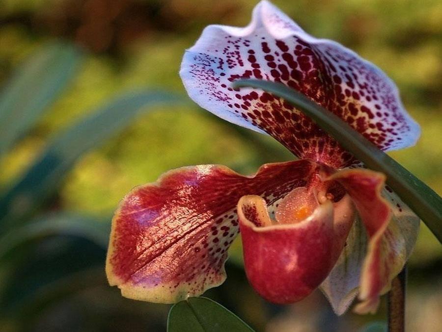 Венерин башмачок: 19 фото с описанием, особенности выращивания