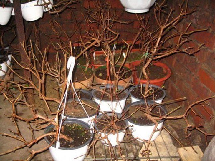 Пахистахис: уход в домашних условиях и возможные проблемы при выращивании