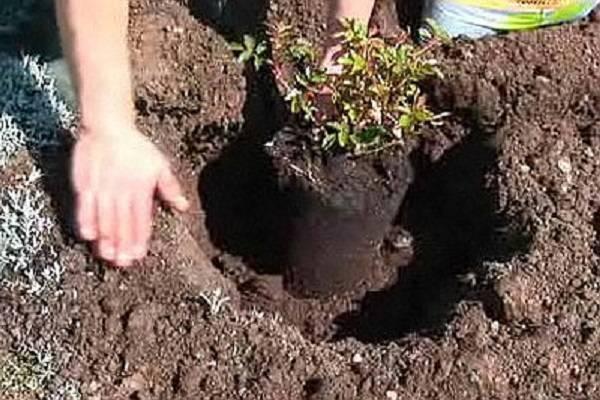 Какую почву любят розы — кислую или щелочную