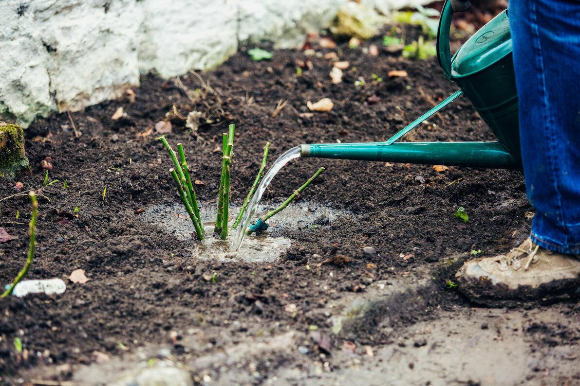 Чем подкормить клематисы весной?