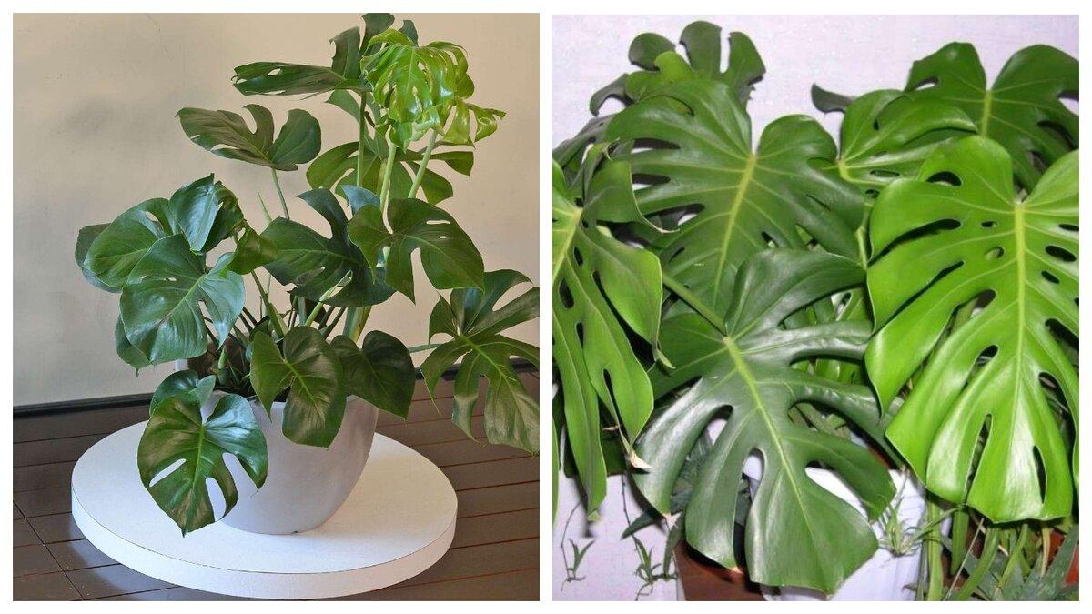 Можно ли держать цветок монстера дома: вредные свойства растения, приметы